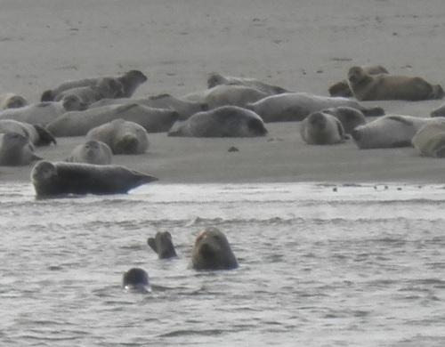 Seehunde in der Nordsee