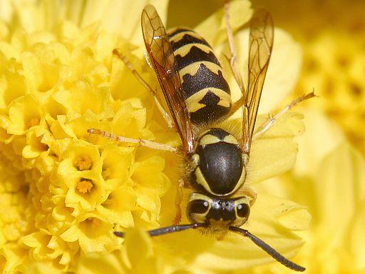 """""""Wespe"""", Bild von Baldhur aus den Wikipedia Commons"""