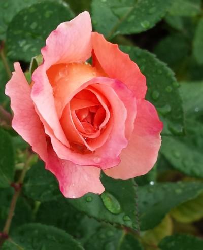 Rose und Wassertropfen