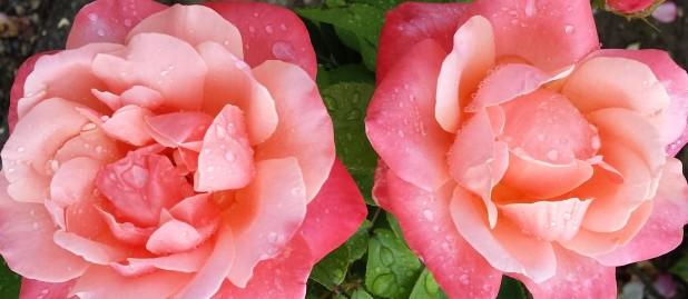 zwei nasse Rosen