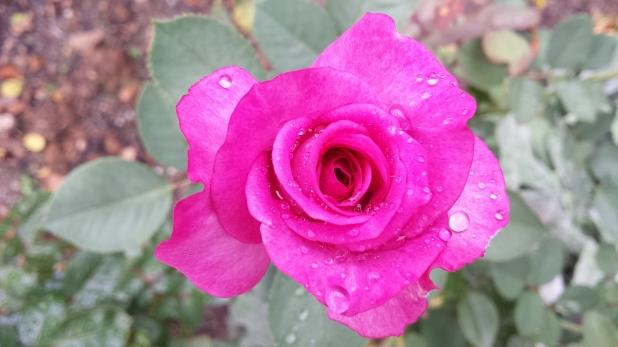 Rose pink nass Blüte