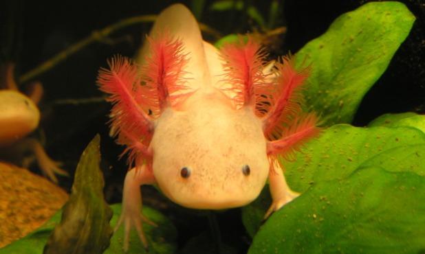 Axolotl, Lustmolch