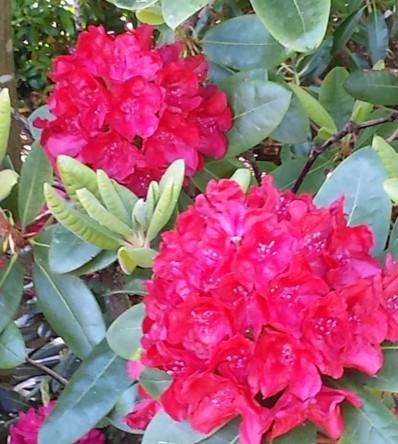 Park der Gärten, Rhododendron, Ammerland