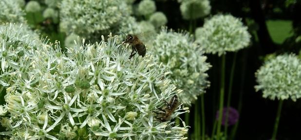 Allium weiß