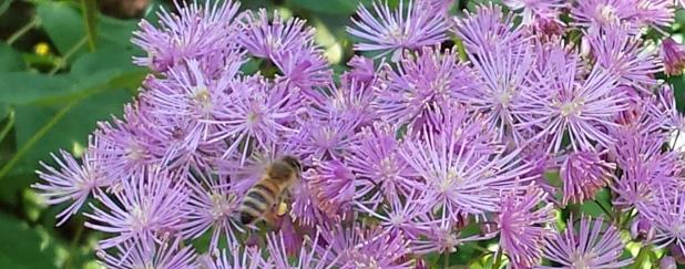 Biene auf rosa Blüten