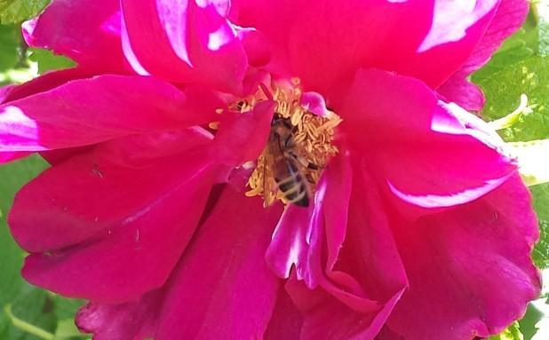 Biene in roter Blüte