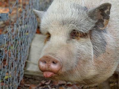 Schwein, Hausschwein