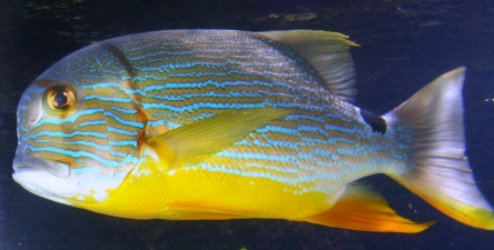 Fisch gelb türkis