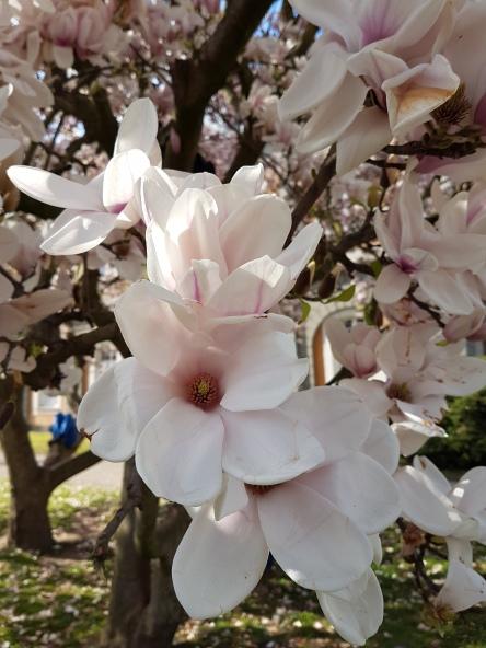 Magnolie, Magnolienblüte