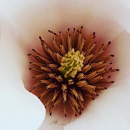 Magnolie, Magnolienblüte innen