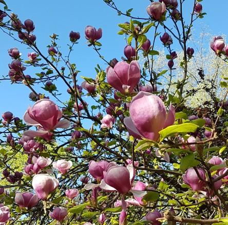 Purpur-Magnolie