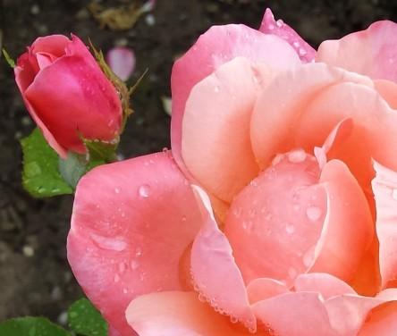 Rosen, Regen
