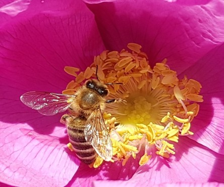 Kaetoffelrose, Strandrose, Biene