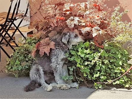 Hund, versteckt im Efeu