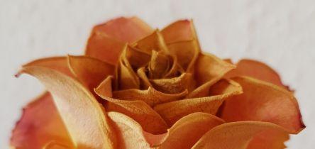 trockene Rose