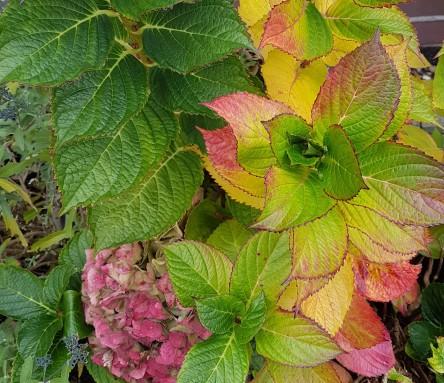 Hortensienblätter Herbst