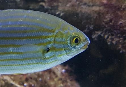 Fisch, gelbe Streifen
