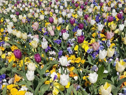 blühende Tulpen, Frankfurter Palmengarten