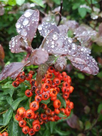 Beeren und Bläter im Regen