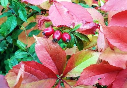 Herbstlaub, Hagebutten
