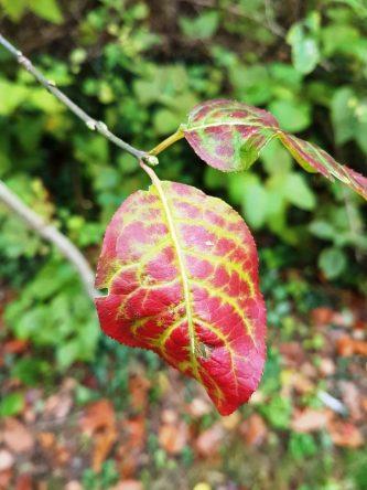 Herbstblatt, Herbstlaub, buntes Laub