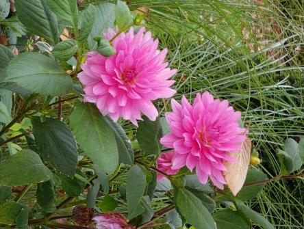 Dahlien, Dahlienblüte, pink