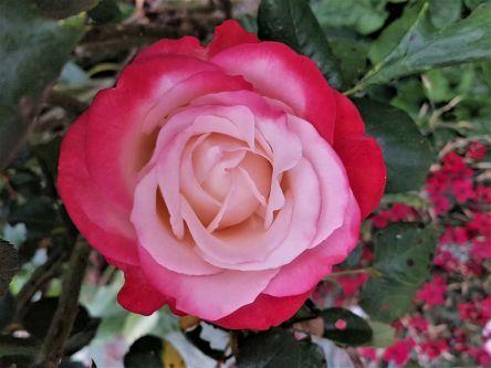 Rose. zweifarbig, Blüte
