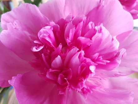 Pfingstrose, pink, rosa, blüte