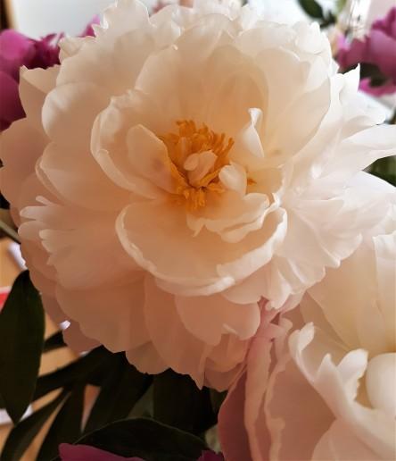 Weiße Pfingstrose, Blüte, Nahaufnahme
