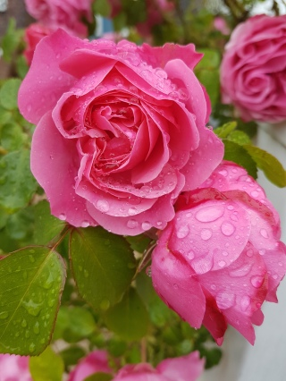 Rose, Blüte, Knospe, Tau