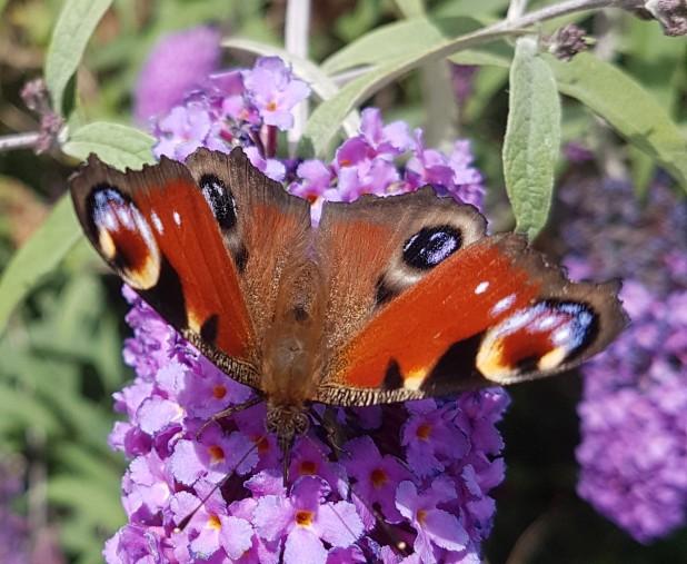 Schmetterling, Tagpfauenauge, Schmetterlingsflieder