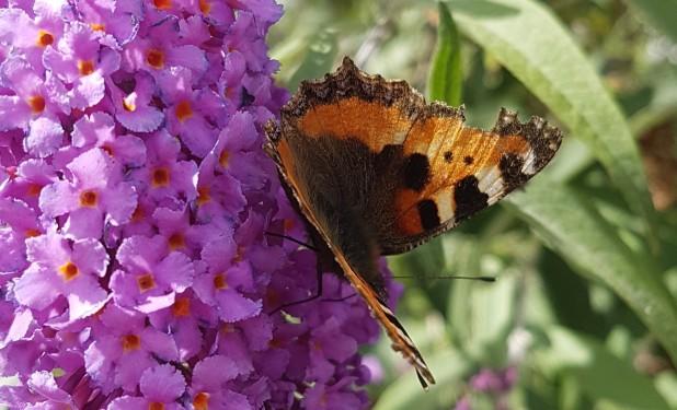 Schmetterling, Kleiner Fuchs, Schmetterlingsflieder