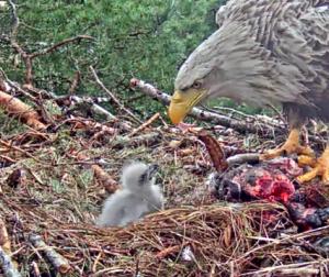 Adlerküken, Seeadler, Nest