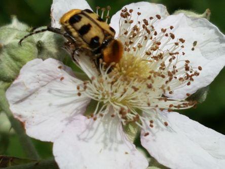 Brombeerblüte mit Pinselkäfer