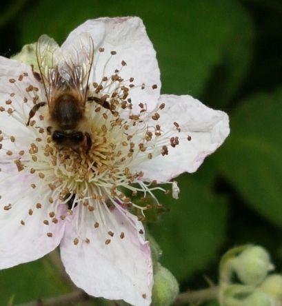 Brombeerblüte mit Fliege