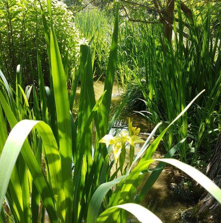 Sumpflilie, Wasserlilie