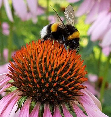 Biene auf Sonnenhut