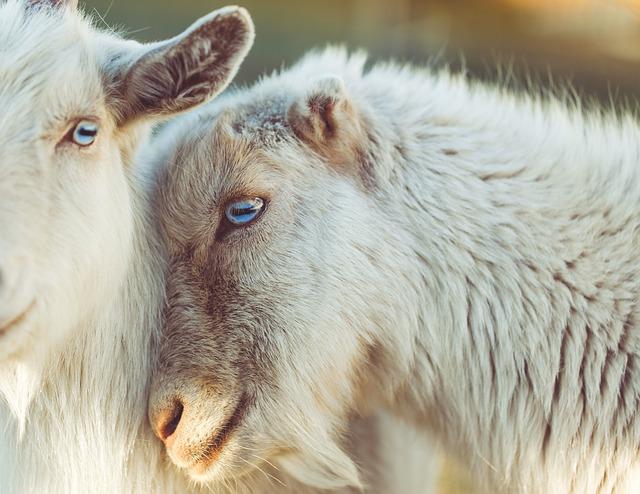 sheep-2592305_640