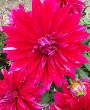 rot-pinke Dahlienblüte