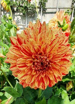 orange-rote Dahlienblüte