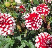 Rot-weiße Dahlien