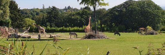 Afrika - Giraffen, Gnus, Zebras und Nashörner teilen sich die Savanne
