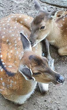 zwei liebevoll kuschelnde Hirsche